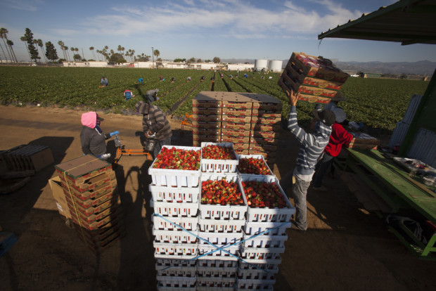 Farm workers pick strawberries in the field adjacent to Rio Mesa High School in Oxnard, CA, which is surrounded on all sides by strawberry fields. Rio Mesa High is seen in the background.